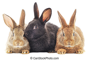Rabbits - Isolated image of a three bunny rabbits.