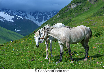 mountain - white horses in high mountains