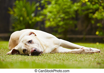 Tired dog - Labrador retriever is lying on the grass