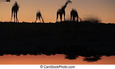 Giraffes drinking water in waterhole - Group of Giraffes in...