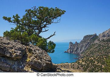 Old juniper on a rock
