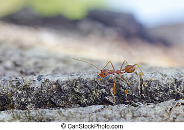 weaver ant on the tree bark - weaver ant is walking on the...