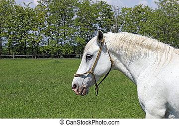 Lipizzaner horse on green field portrait