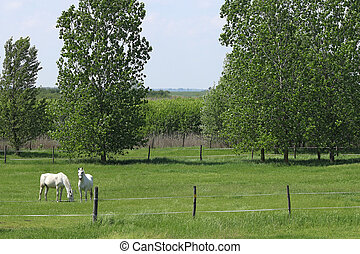 Lipizzaner horses on pasture landscape