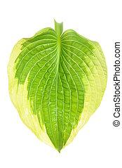 Hostas single leaf decoration isolated on white