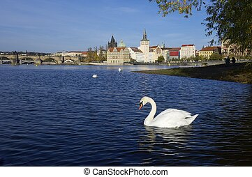 swans in Prague - White swans on Vltava river, Prague, Czech...