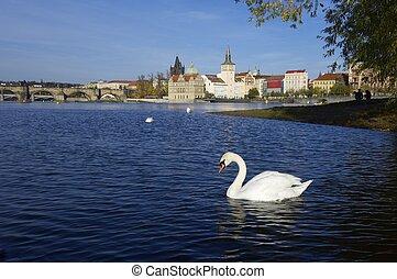 swans in Prague - White swans on Vltava river, Prague, Czech...