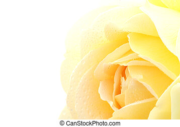 Yellow rose - Beautiful bright yellow rose isolated on white