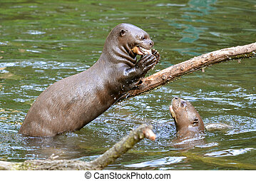 Giant otter eating a fish - Giant otter Pteronura...