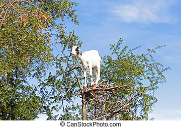 Goat feeding in argan tree Marocco