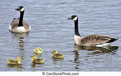 The Gander - The Canada Geese located in Bloomington,...