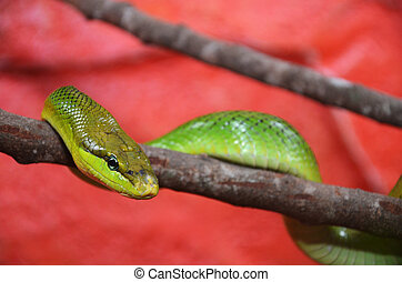 Green snake - A green snake is moving on the tree  branch.