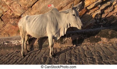 sacred  cow on road in India mountains