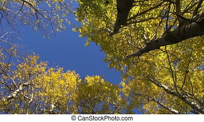 beautiful aspen forest - autumn time wind in beautiful aspen...