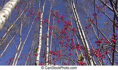 beautiful autumn forest and red European spindle (Euonymus...