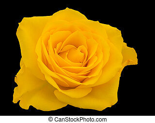 Close-up of a yellow rose against a black background
