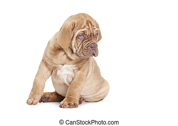 French Mastiff puppy, 9 weeks old. Isolated on white...
