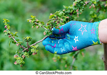 Budding branch - Female hand holding with glove a budding...