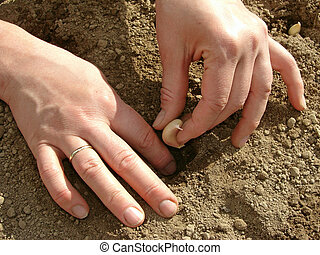sowing garlic - woman hands sowing garlic into the ground...