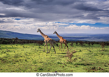 A pair of large Masai Giraffes cross the savanna. Serengeti...