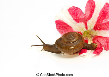 Garden spiral snail on flower ,isolate