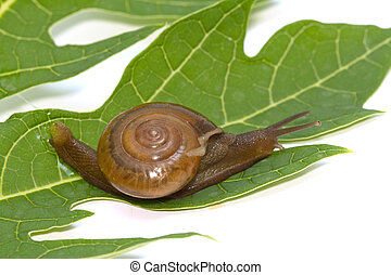 Garden spiral snail on green leaf ,isolate