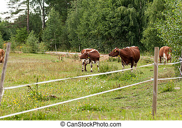 two brown cows grazing in a field outside the fence