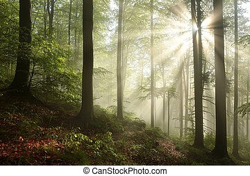 Spring forest at dawn - Foggy, sunny morning in spring...