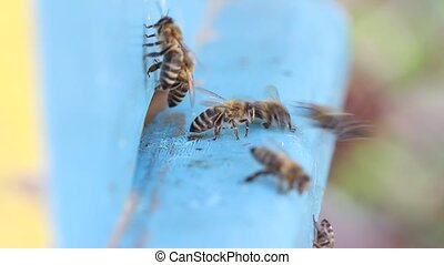 Honey bees on hive - Honey bees in front of hive entrance