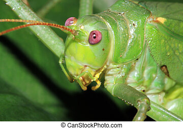 Katydid - Close-up of a Katydid Unidentified, Drake Bay,...