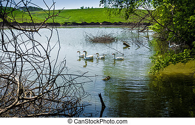 flock of gooses swimming in pond at field - Photo of flock...