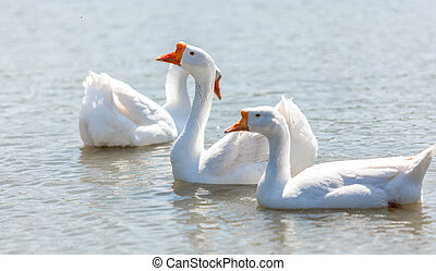 white gooses swimming on river - Beautiful white gooses...