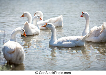 flock of gooses on water - Photo of flock of gooses on water