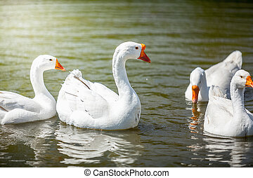 gooses swimming on water - Photo of gooses swimming on water