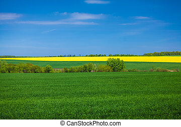 landscape of rapeseed field at sunny day - Beautiful...