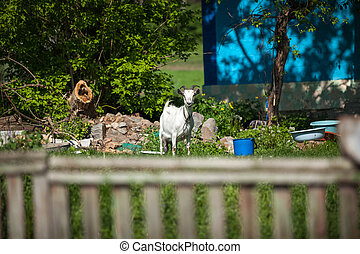 white goat eating grass at countryside yard - Photo of white...