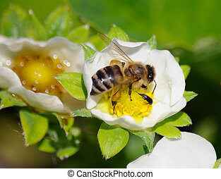 Bee in flower of strawberry - Bee pollinating the white...