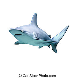 a large grey reef shark showing the mouth and teeth and...