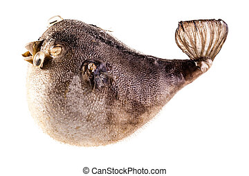 Isolated Puffer fish - a stuffed puffer fish isolated over a...