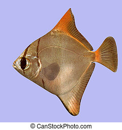 Malay Angel Fish in water With Clipping Path