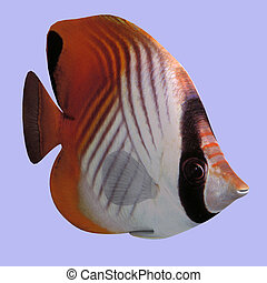 Butterfly Fish in water With Clipping Path