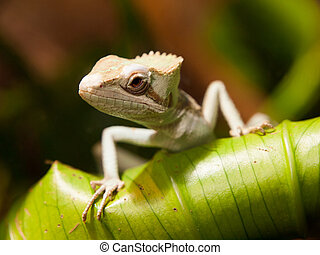 Basilisk Lizard (Basiliscus basiliscus) sitting on the green...