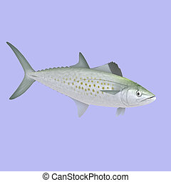 Spanish Mackerel fish in water With Clipping Path