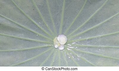 Water drop on Bonnie leaf surface