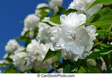 Beautiful White Jasmine Flowers on Blue Sky Background -...