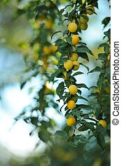 Yellow Cherry Plums on Tree Branch - Yellow cherry plums...