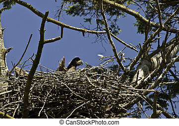 Baby Eaglet - Baby eagle looking over the edge of the nest....