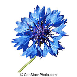 Cornflower Centaurea cyanus isolated with clipping path...