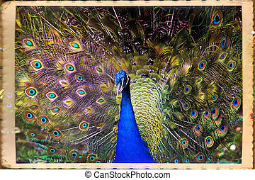 Peacock - Beautiful blue male peacock with its tail open