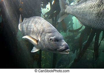 Steenbras Fish - Large steenbras fish off the South African...